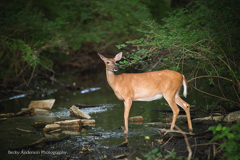Pure Michigan deer in stream